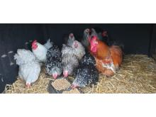 Pekin bantams