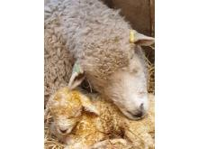 Devon and Cornwall Longwool and lamb