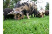 Kune Kune sow and litter